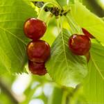 cherries-2728